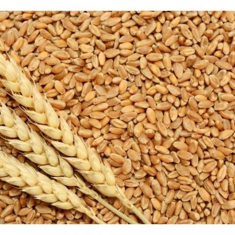 EU Commission: Nâng dự báo xuất khẩu lúa mỳ liên minh châu Âu lên mức 27 triệu tấn