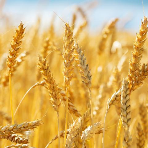 Igc: nâng dự báo sản lượng lúa mỳ toàn cầu lên 773 triệu tấn trong niên vụ 2020/21