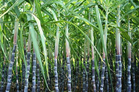 Mỹ: diện tích gieo trồng mía đường…