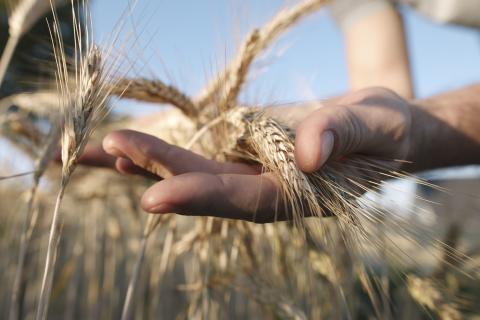 [phân tích] giá ngô và lúa mỳ có thể điều chỉnh giảm nhẹ trước khi tăng trở lại