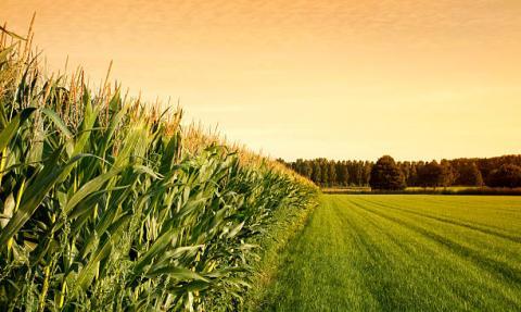 Brazil: chưa thể đánh giá tác hại của việc trì hoãn gieo trồng lên năng suất ngô vụ 2