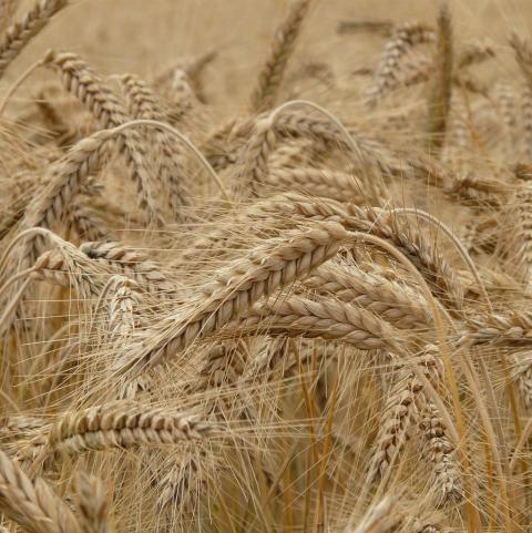 Ukraine: lũy kế xuất khẩu lúa mỳ niên vụ 2020/21 đã đạt 78.3% mức hạn ngạch