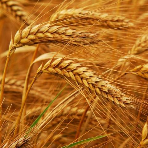 Pháp: Thời tiết lạnh giá không ảnh hưởng quá nhiều tới mùa vụ ngũ cốc