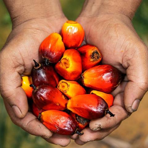 Malaysia: Tồn kho dầu cọ cuối tháng 3 tăng 10.7% lên 1.45 triệu tấn