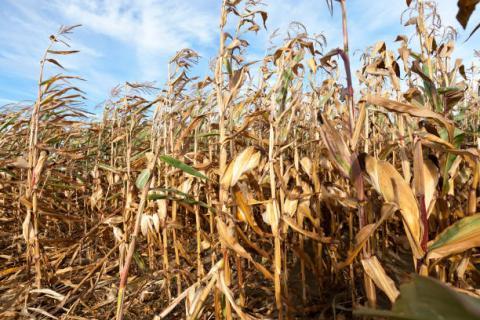 [Thời tiết] Các khu vực gieo trồng lúa mỳ tại Mỹ và Ukraine sẽ không có mưa trong những ngày tới
