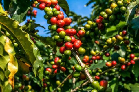 [phân tích] giá cà phê arabica đang gặp lực cản lớn ở mức kháng cự 130 cents
