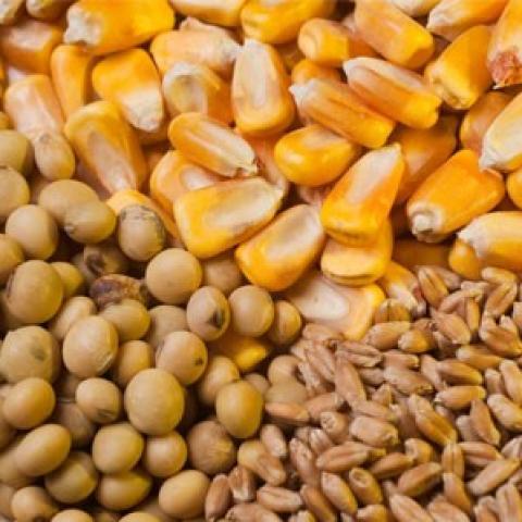 Eu commission: xuất khẩu lúa mỳ…