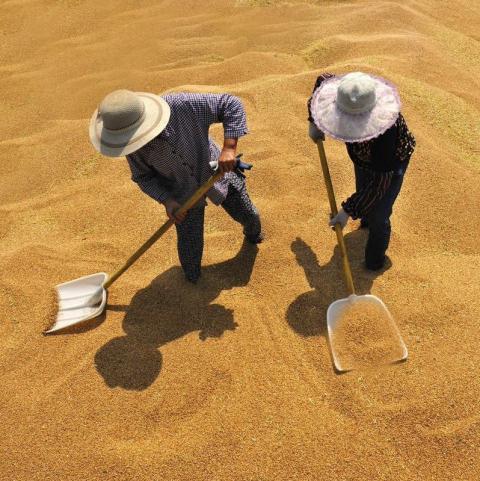 Trung Quốc: Bán đấu giá 515,209 tấn lúa mỳ trong tuần trước với mức giá 358.19 USD/tấn