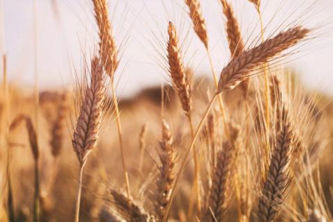[phân tích] giá ngô và lúa mỳ suy yếu do áp lực từ yêu tố kỹ thuật