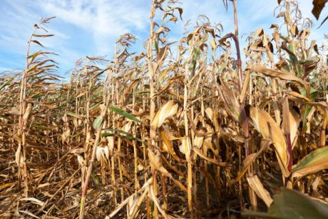 [Thời tiết] Các loại cây trồng tại Brazil đang phải đối mặt với thời tiết khô hạn kéo dài