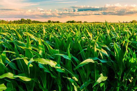 [phân tích] xu hướng tăng của ngô và lúa mì vẫn chưa có dấu hiệu chậm lại