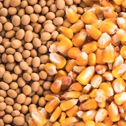 Brazil: Bán hàng ngô và đậu tương tại Mato Grosso chậm hơn so với năm ngoái