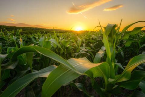 Usda crop progress: tiến độ mùa vụ ngô và đậu tương chi tiết từng bang ngày 09/05
