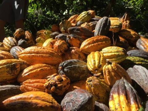 Bờ biển ngà: lượng cacao được vận chuyển tới các cảng ước tính đạt 1.879 triệu tấn