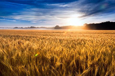 [Phân tích] Thời tiết được cải thiện tại các vùng gieo trồng tiếp tục gây áp lực lên giá lúa mỳ