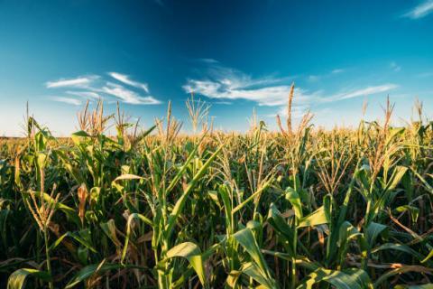 """[Phân tích] Ngô và lúa mì có thể sẽ bước vào đợt giảm giá mạnh dưới áp lực của các thông tin """"bearish"""" dài hạn"""