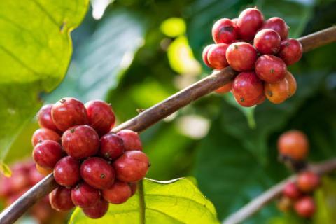 [Phân tích] Diễn biến tiêu cực từ thị trường nông sản đang gây sức ép lên giá cà phê