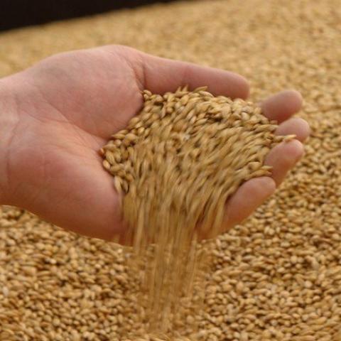 Châu Âu: Strategie Grains tăng dự báo sản lượng lúa mỳ năm 2021 lên 131.1 triệu tấn