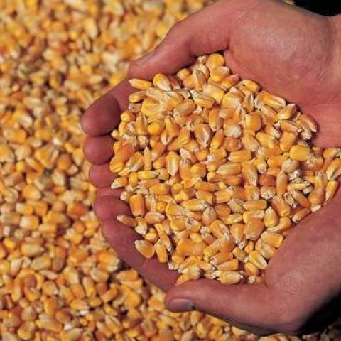 Trung quốc: nhập khẩu ngô trong tháng 5 đạt mức cao kỷ lục do nhu cầu tăng