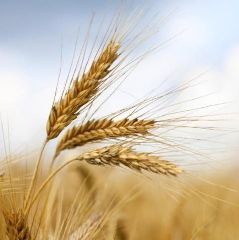 Nga: Bộ Nông nghiệp công bố mức thuế xuất khẩu mới đối với ngô và lúa mỳ
