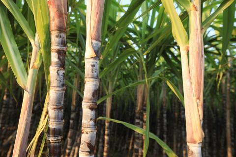 Xu hướng đẩy mạnh sản xuất ethanol…
