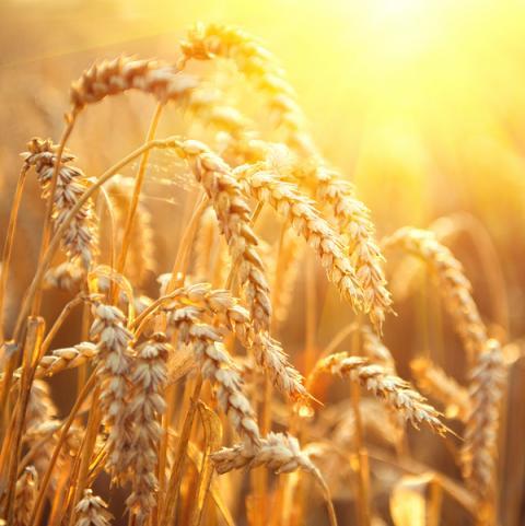 Nga: IKAR tiếp tục tăng dự báo sản lượng lúa mỳ trong năm 2021 lên 82 triệu tấn