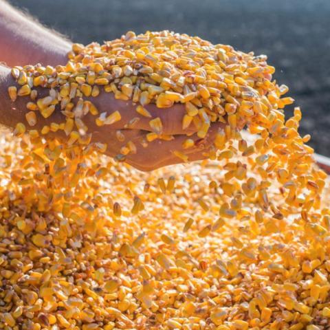 [Phân tích] Ngô và lúa mì đang xác nhận xu hướng đảo chiều sau phiên lao dốc không phanh