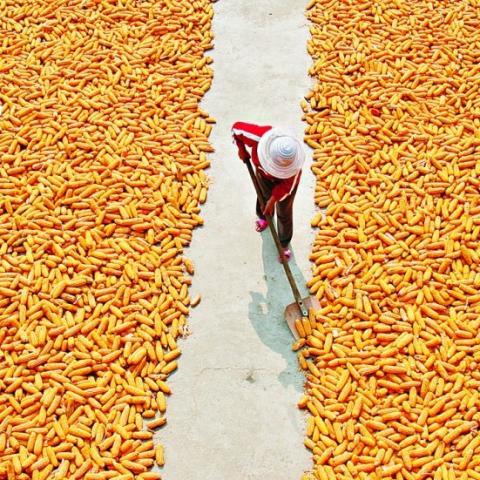 Argentina: bộ nông nghiệp tăng dự báo sản lượng ngô 20/21 lên mức 59 triệu tấn