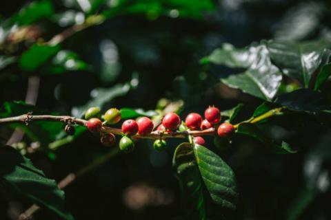 [Phân tích] Giá cà phê có thể tiếp tục đi ngang trong phiên cuối tuần