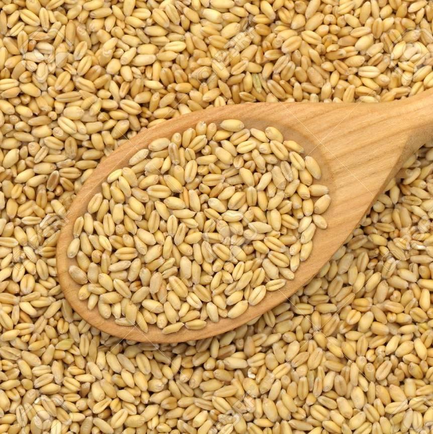 Igc: sản lượng ngô giảm 10 triệu tấn do mùa vụ tại mỹ và ukraine