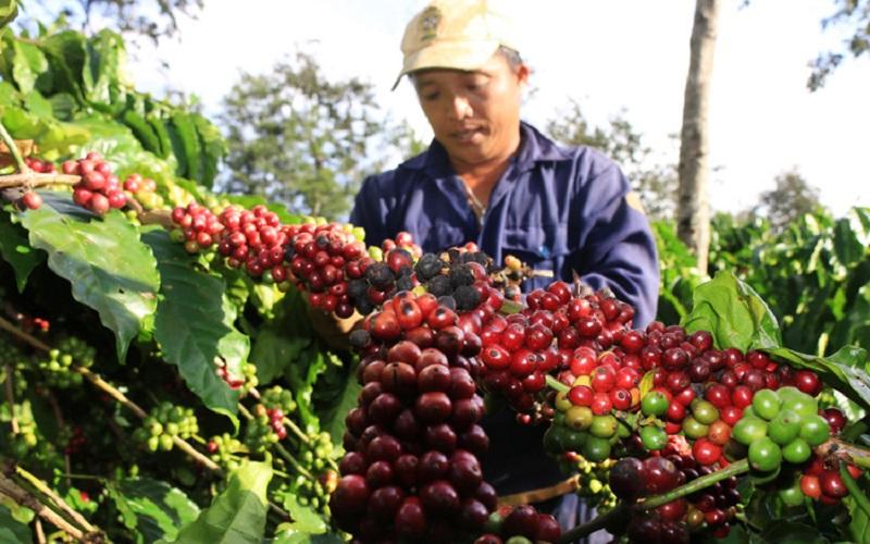 Giá cả thị trường nông sản hôm nay 9/9: Giá tiêu, giá cà phê tăng mạnh