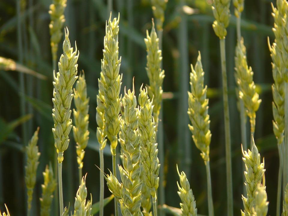 Lúa mỳ tăng vọt do thông tin thiếu hụt nguồn cung tại các nước Biển Đen