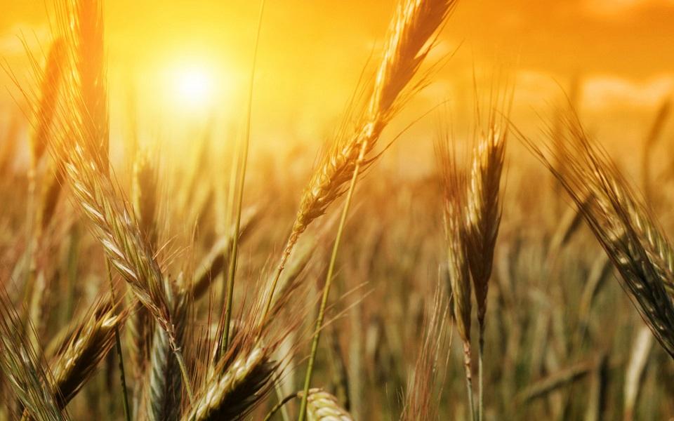 Báo cáo cung cầu ngũ cốc (WASDE) của USDA