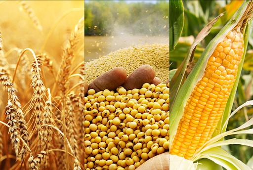 USDA Export Sales: Bán hàng ngô và đậu tương tăng, lúa mỳ giảm