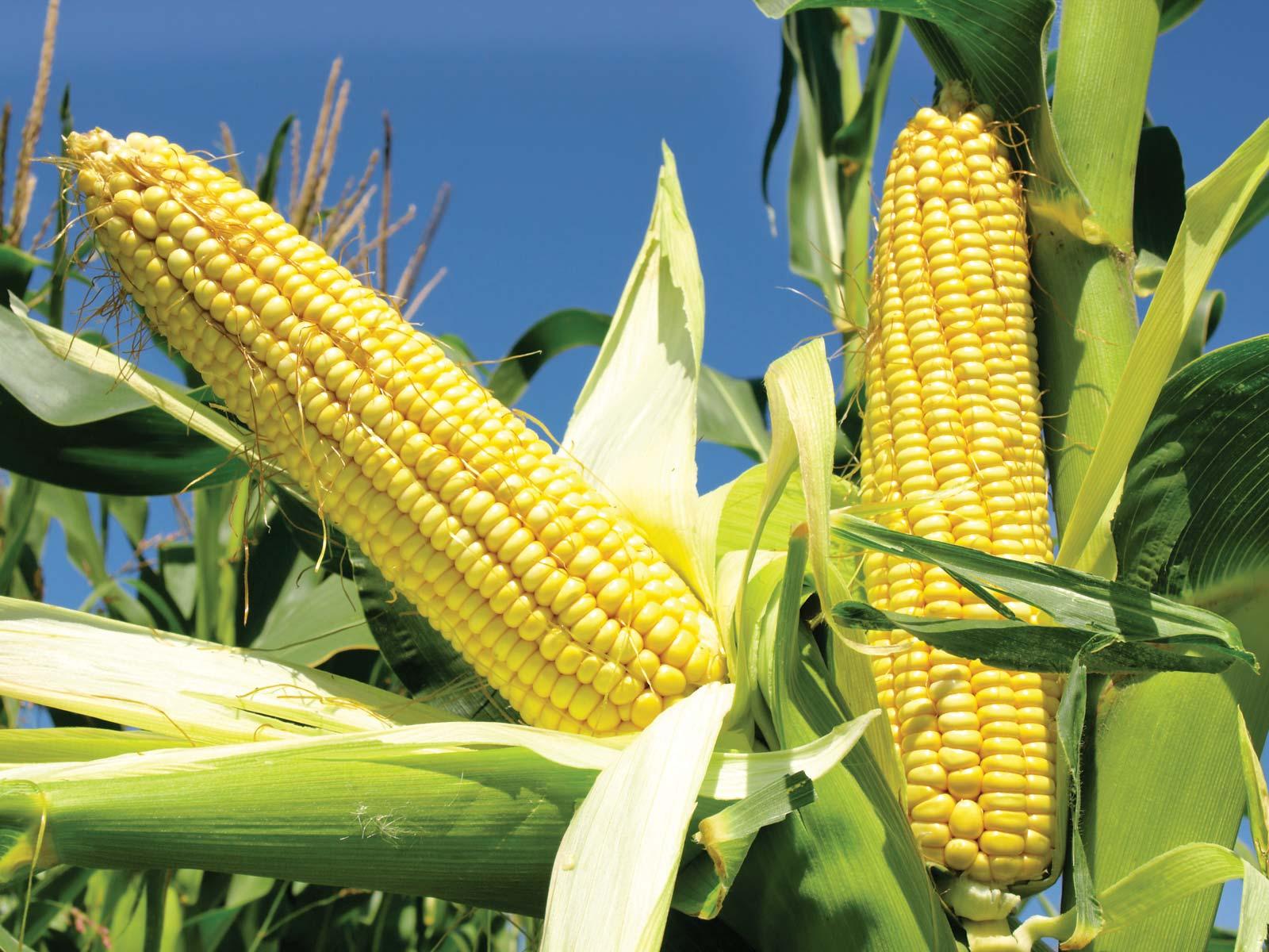 USDA Export Inspections: Giao hàng ngô và đậu tương giảm, lúa mỳ tăng