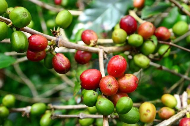 Thị trường cà phê ngày 24/6: Giá đảo chiều giảm nhẹ 100 đồng/kg