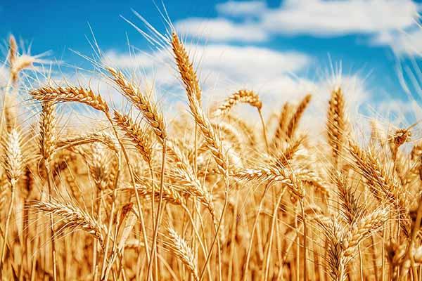 Lúa mỳ vẫn còn nhiều lực cản khiến hạn chế đà tăng