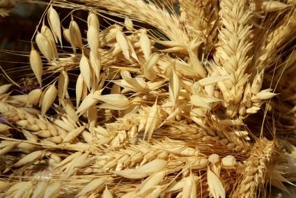 Thị trường Thức Ăn Chăn Nuôi thế giới ngày 03/04/2020: Giá lúa mì hồi phục