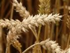 Thị trường Thức Ăn Chăn Nuôi thế giới ngày 17/04/2020: Giá lúa mì có tuần giảm mạnh