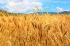 Giá lúa mì Nga tăng do lo ngại nguồn cung sau thời điểm 15/05/2020