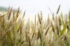 Lúa mỳ có thể sẽ tiếp tục tăng trong vài phiên tới